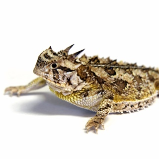 Horned lizard that looks more like a frog sprawled out on a white background